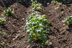 Trädgård för grönsak för potatisväxt Arkivfoton