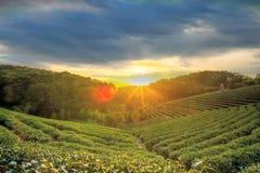 Trädgård för grönt te i solnedgång