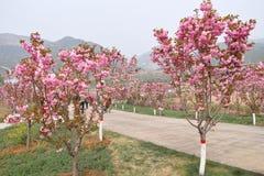Trädgård för körsbärsröd blomning Arkivbilder