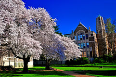 Trädgård för körsbärsröd blomning framme av imperialistiska arkitekturbyggnader Royaltyfri Foto