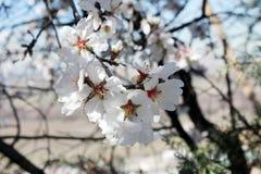 Trädgård för mandelblom på våren Arkivfoto