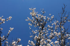 Trädgård för mandelblom på våren Arkivbilder