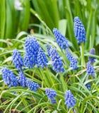 Trädgård för Muscariblommor på våren Arkivbilder