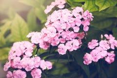 Trädgård för nejlikaShabo blomma Arkivbilder