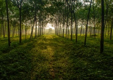 Trädgård för Para gummi Fotografering för Bildbyråer