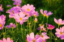 Trädgård för Pinkskosmosblommor Arkivbild
