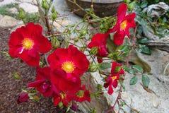 Trädgård för röda rosor Arkivfoton