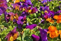 Trädgård med apelsin- och lilablommor fotografering för bildbyråer