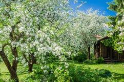 Trädgård med att blomstra Apple-träd Arkivfoto