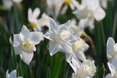 Trädgård med den blommande pappers- vita pingstliljan Arkivbilder