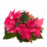 Trädgård med julstjärnablomma- eller julstjärnan royaltyfri illustrationer