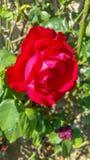 Trädgård med röda rosor fotografering för bildbyråer