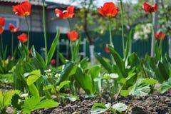 Trädgård med tulpan och jordgubbar, sikt från markplan royaltyfri foto