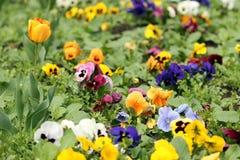 Trädgård med tulpan- och penséblommor Royaltyfri Foto