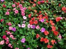 trädgård mycket av blommaimpatiens av olika färger Royaltyfri Fotografi