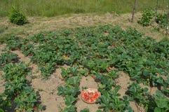 Trädgård naturgrönsaker Royaltyfria Bilder