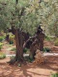 Trädgård på Gethsemane Royaltyfria Bilder