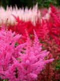 Trädgård: rosa och röda Astilbeblommor Arkivbilder