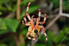 Trädgård-spindel på spindel-rengöringsduk 1 Arkivfoto