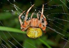 Trädgård-spindel på spindel-rengöringsduk 3 Arkivfoton