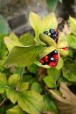 Trädgård: svart och rött pionblommafrö Royaltyfria Foton