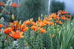 Trädgård Trädgårds- bygd Trädgårds- härliga fält för pion av ranunculusen som är fullvuxna i söderna Blomning av liljor royaltyfria bilder