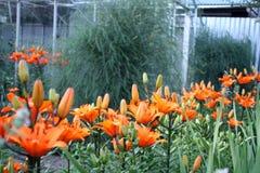 Trädgård Trädgårds- bygd Trädgårds- härliga fält för pion av ranunculusen som är fullvuxna i söderna liljar Royaltyfri Foto