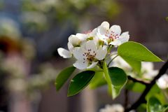 TrädgårdApple blomning royaltyfria foton