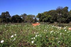 Trädgårdar av rosor SOMMAREN landskap Arkivbild