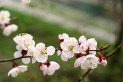Trädgårdar för aprikosblomningvår royaltyfria foton