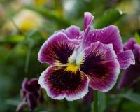 Trädgårdblommor Arkivbild