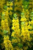 Trädgårdblommor som Lysimachia är ett släkte som består av 193, känner igen Arkivfoto