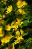 Trädgårdblommor som Lysimachia är ett släkte som består av 193, känner igen Arkivfoton