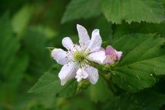 Trädgårddewberryblomning arkivfoton