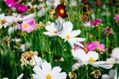 Trädgården av kosmosblommor royaltyfria bilder