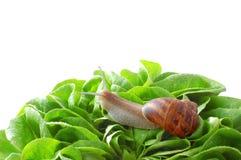 trädgården blad snailen Royaltyfria Bilder