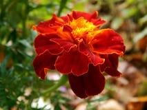 Trädgården blommar nejlikan Royaltyfria Foton