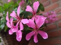 Trädgården blommar rosa färger Arkivbilder