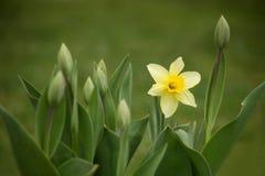 Trädgården blommar tid för påskliljor på våren Arkivbilder