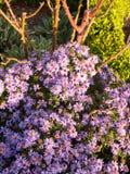 Trädgården för rosa färger för härligt solljus blommar den lilla alldeles malt royaltyfri foto