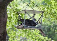 Trädgården i sommaren Fågelduvor som sitter i ho Fotografering för Bildbyråer