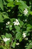 """Trädgården nÉ™m blommar för axonomical känd Jasminumjæsmáµ för jasmin"""" - G Royaltyfria Bilder"""
