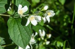 """Trädgården nÉ™m blommar för axonomical känd Jasminumjæsmáµ för jasmin"""" - G Royaltyfri Fotografi"""