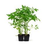 trädgården planterar den klara tomaten royaltyfri bild
