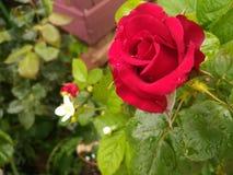 trädgården steg royaltyfri bild