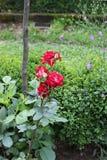 trädgården steg Arkivfoton