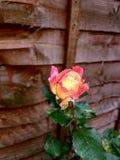 trädgården steg royaltyfri fotografi