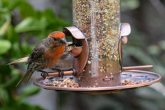 Trädgårdfågelförlagematare Arkivbild