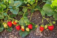 Trädgårdjordgubbar som mognar i organisk trädgård royaltyfria bilder