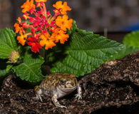 Trädgårdpadda i blommaträdgård Arkivbilder
